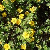 Kwiaty Pięciornika