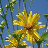 Pszczółka Na Złoc