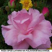 Róża Z Puławskieg