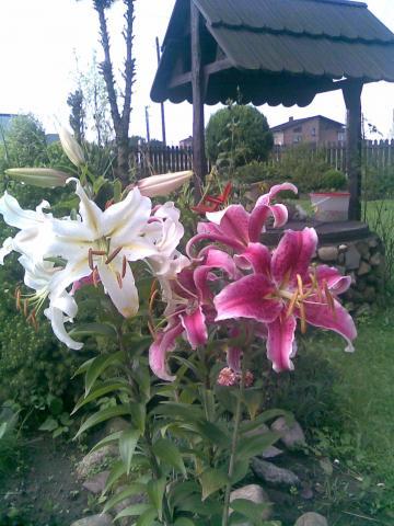 Lilie orientalne