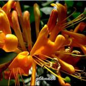 Lanicera żółta