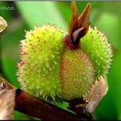 Owoce Kanny