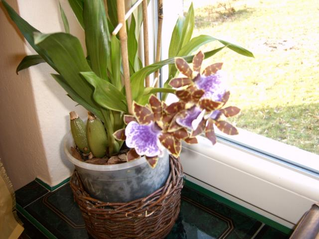 Zygopetalum intermedium