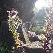 Listopadowy kwitnacy skalniak we mgle i słońcu