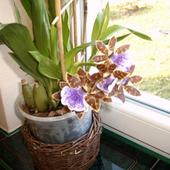 Zygopetalum Intermed