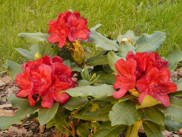 Rododendron czerwony 2