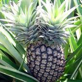 Ananas - Dziwoląg