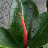 Figowiec Sprężysty