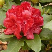 Rododendron czerwony 1