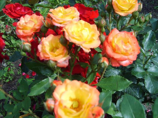 Róża Rumba