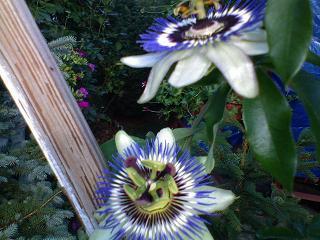 Męczennica błękitna (Passiflora)