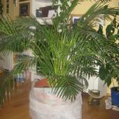 areca  (chrysalidocarpus)-areka,betel