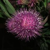 Kwiat łakowy - Oset