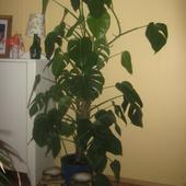 Monstera Wonna=borsi