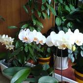 Orchidea czy Storczyk?