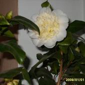 kamelia Brushfield Yellow (rzadko spotykane żółte kwiaty).