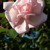 Kwiat Rózy