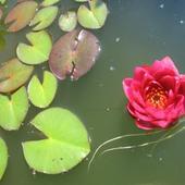 lilia wodna