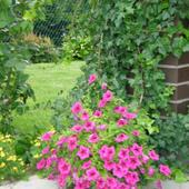 petunia-begonia