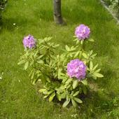 rododendron 2007