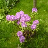 rododendron 2008