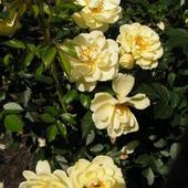 Róża Miniaturowa