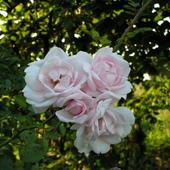 Róża Pachnąca-krz