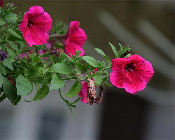 Petunia for You