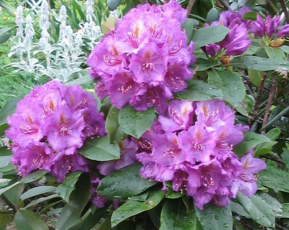 Rhododendron /Catawbiense-Hybridum/