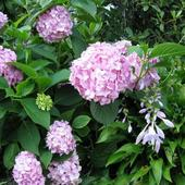 Hortensja i białe kwiaty hosty /funkii/