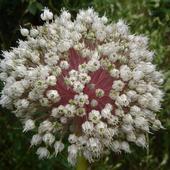 Kwiat Czosnku