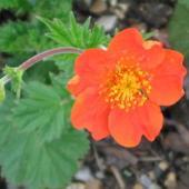 Kwiat kuklika szkarłatnego