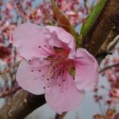 Kwiat Nektarynki