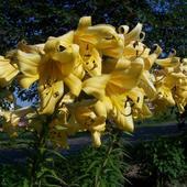 lilie z mojego ogrodu