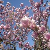 Magnolia pośrednia