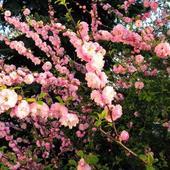 Migdałek trójklapowy  /Prunus triloba/