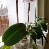 Orchidea - Orchidece