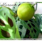 Owoc Mandarynki Nad
