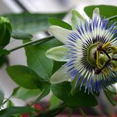 Pasiflora (Passiflora caerulaea)