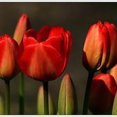Purpurowe Tulpany