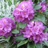 Rhododendron /Catawb