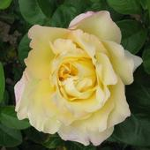 Róża - Gloria Dei