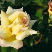 Róża  'Gloria Dei'