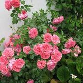 Róża pnąca  /Rosarium Uertensen/