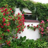 Róże - czerwcowe piękności