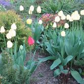 Tulipany i reszta