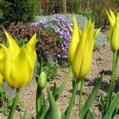 Tulipany liliokształtne