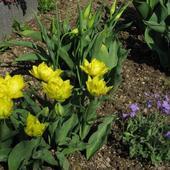 Tulipany z kępką żagwinu