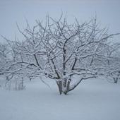 Czereśnia Zimą