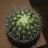 Kaktusik